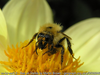 Bee on dahlia (Martin Brown)